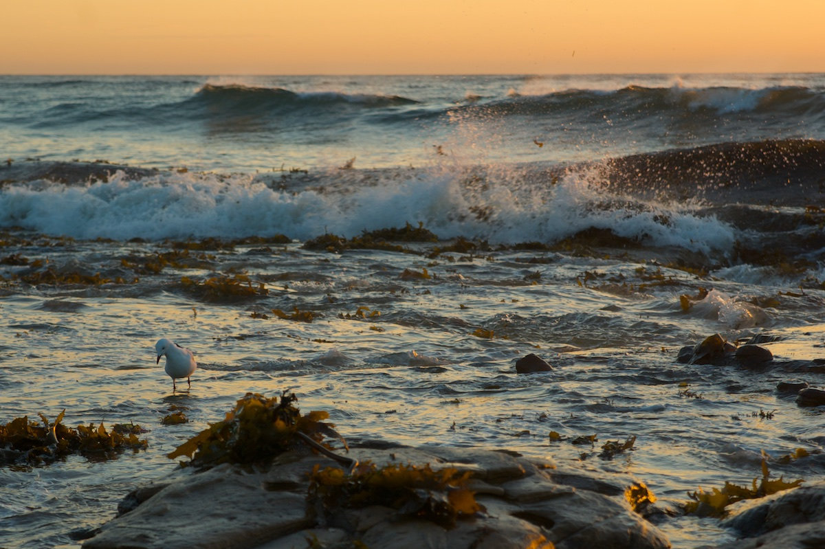 Bulli Beach Sunrise Yellow - Seagull Splash - Sandon Point Beach, Bulli